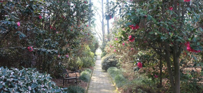 Camellias at Massee Lane Garden